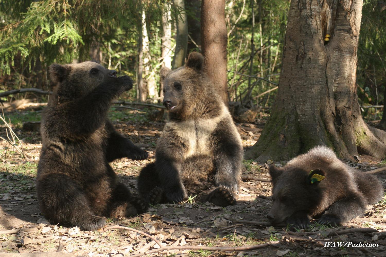 Фото волков и волчат